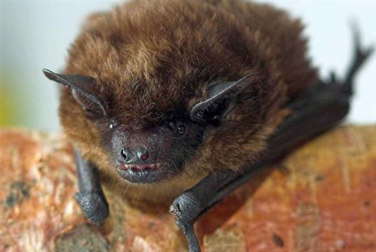 BSAVA reminds small animal vets how to work safely with bats