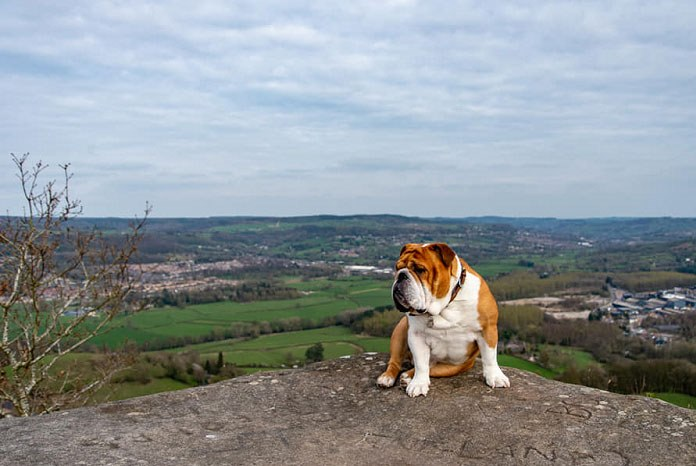The Royal Veterinary College has published the results of the largest ever study of British bulldogs treated in first opinion veterinary practices