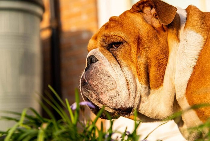 The RVC has published the results of a new study which shows that the owners of short-muzzled or brachycephalic dogs are either unaware of the suffering of these breeds, or deluding themselves.