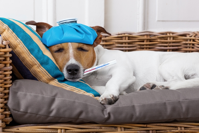 The BVA has published new results from its Voice of the Veterinary Profession survey which found that 63% of veterinary surgeons worked when they didn't feel well enough in the last year, something which the Association warns could have a longer-term impact on vets' wellbeing.