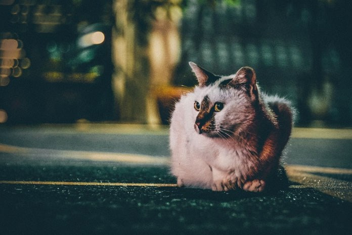 New research from the RVC has revealed that young, male, crossbred cats are at greater risk of being hit by a car